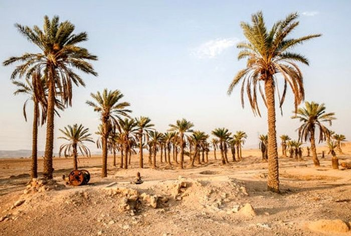 7500 نخل در خوزستان ذبح شد/ هشدار نابودی نخل ها در جنوب