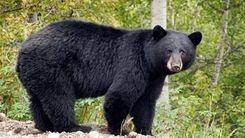 حمله ناگهانی خرس به مدرسه هرمزگان / فیلم