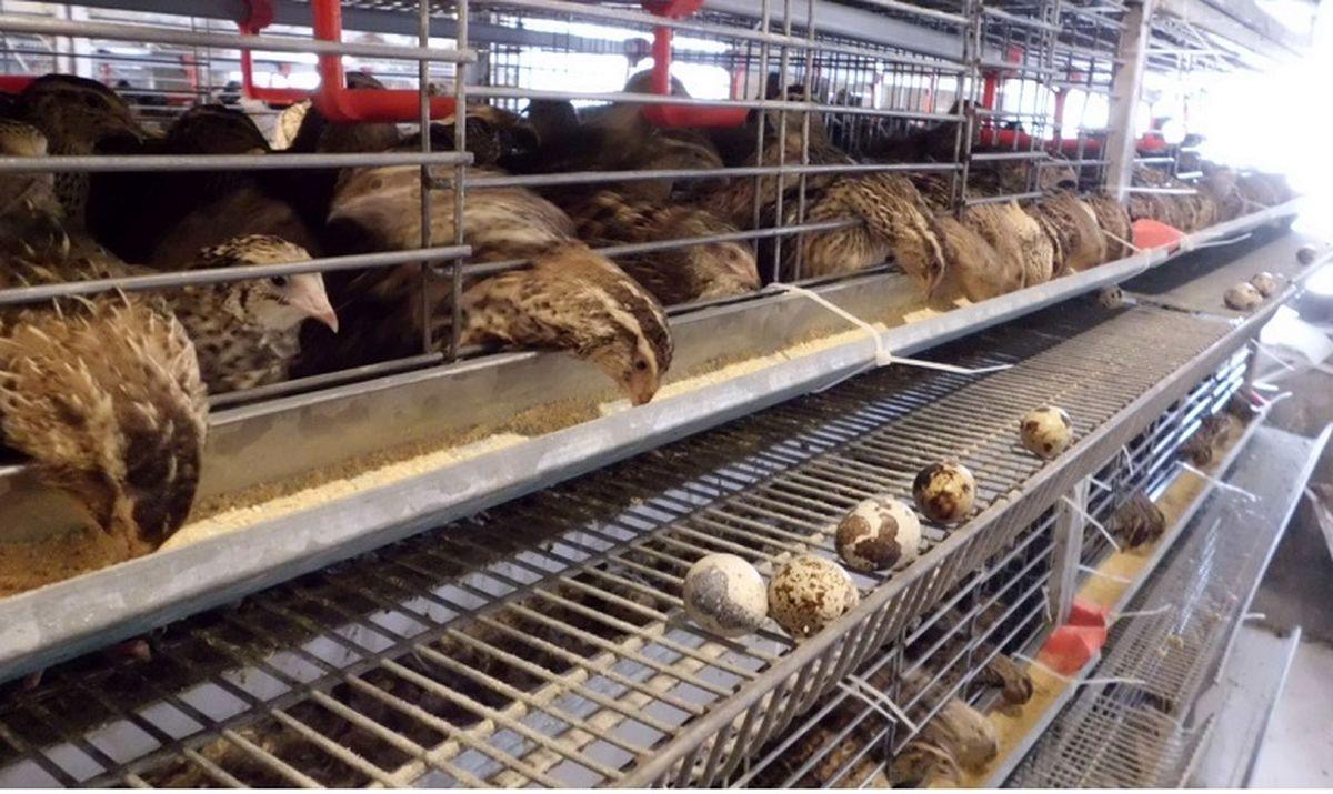 قحطی بلدرچین در بازار  بلدرچین از مرغ پیشی گرفت!