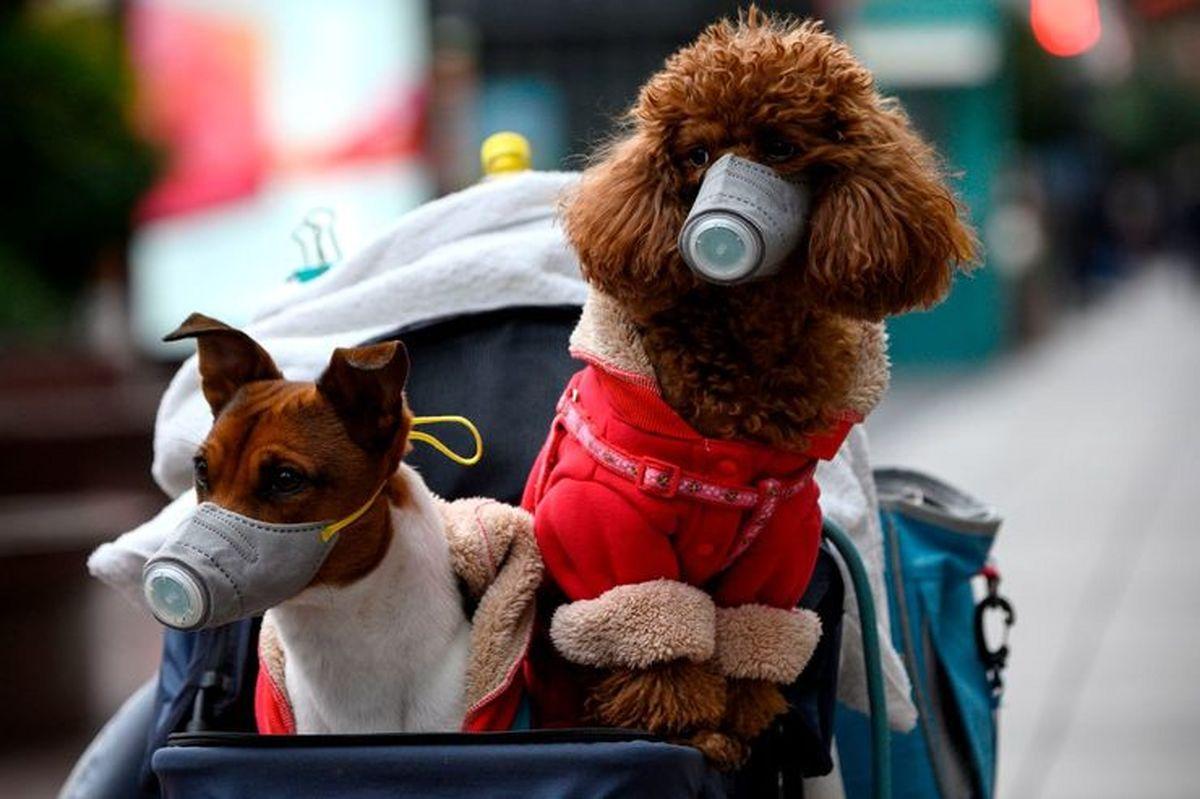 سگ ها نمونه های مثبت کویید 19 را با دقت شناسایی می کنند + جزئیات